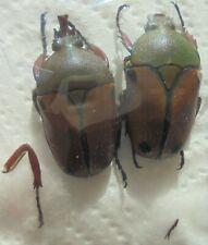 EUDICELLA euthalia rungwensis M A2 31 mm, F A2 28 mm
