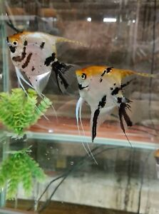 6× Gold Marble Angelfish, Straight From The Breeder , 5cm