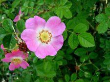 Beautiful wild Rose seeds Nootka Rose (Rosa Nutkana) Bristly Rose 5 fresh seeds
