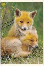 Biglietto d'auguri : DUE VOLPE - Cuccioli su una PRATO - Two FOX - - LEGGERE