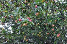 Wild CRAB APPLE TREE Malus Sylvestris Pink & White Blossom Fruits 4ft Potted