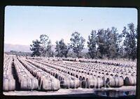 1963 Kodachrome Photo slide  Mexico barrels of Olive