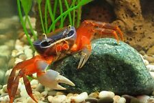 Live rainbow crab tropical Cardisoma armatum