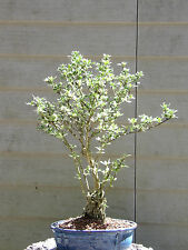 Mount Fuji Serissa Snow Rose Bonsai Tree  Flowers #37