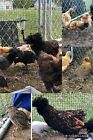 6 + Extra/s Hatching Eggs Mix Chicken Duck Possible Ayam Cemani