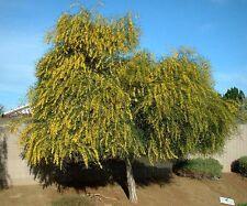 6 graines MIMOSA D'AVRIL PLEUREUR(Acacia Saligna)H364 PORT JACKSON WILLOW SEEDS