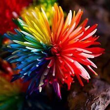100 Seeds Cute Rainbow Chrysanthemum Livingstone China Aster Garden Plant Flower