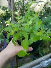 Fluminensis Tradescantia Wandering Jew 12 cuttings