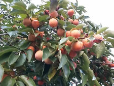 PERSIMMON TREE COLLECTION: DIOSPYROS KAKI, LOTUS, VIRGINIANA, sweet fruiT, hardy