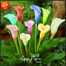 100 PCS Seeds Rare Calla Lily Bonsai Flowers Free Shipping Easy To Grow New 2021