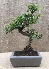 Chinese Elm (Ulmus Parvifolia) Shaped Style Bonsai Tree (Aprox 30cm Tall)