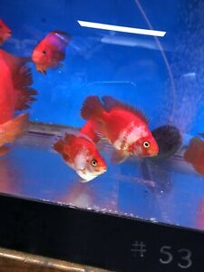 Koi King Kong Parrot (White And Red )live Fish 3-4 inch