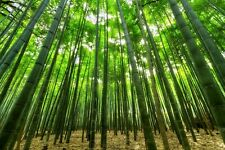 Giant timber bamboo plant Phyllostachys atrovaginata hardy.