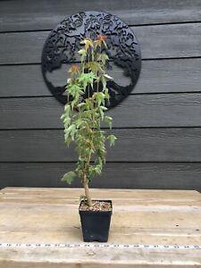 Trident Maple Bonsai Seedlings