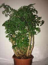 Polyscias 'Ming' Houseplant. Geranium Aralia. 45cm approx.