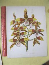 Vintage,Print,ODONTOGLOSSUM GRANDE,c1885,Wm Mackenzie