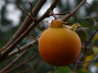 25  Diospyros kaki Seeds, Japanese Persimmon Seeds