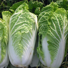 Vegetable Seed - CHINESE CABBAGE - Hybrid WONG BOK Seed - Pack of 50 Seeds.