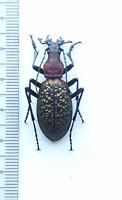carabidae, Carabus (Acoptolabrus) lopatini Morawitz, 1886 male Sakhalin is