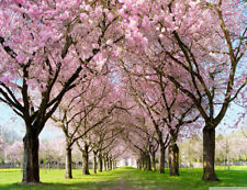 10x8ft Vinyl Background Studio Backdrop Cherry Blossoms Tree Alley Green Grass