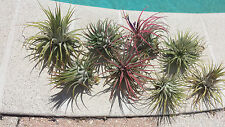 Bromeliad Tillandsia ionantha Guatemalan large size two pack Tropical Air Plant