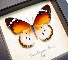 Real Framed Danaus Chrysippus Alcippus African Monarch 8170