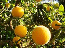 rare contorted hardy lemon PONCIRUS FLYING DRAGON plant, flowering shrub, fruit