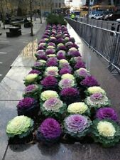 FLOWERING CABBAGE 'Ornamental Mix' 150+ seeds winter vegetable garden shade EASY