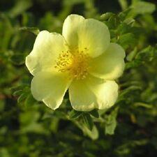 Yellow Rose Plant Canary Bird Shrub Rosa Xanthina Rosaceae Spring 5.5L Pot H6