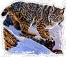 "Bobcat Prowl Animal Cat Cats Rock Wildlife Car Bumper Vinyl Sticker Decal 4.6"""
