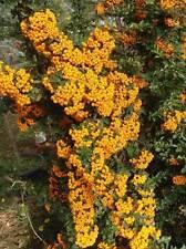 10 SEMI DI Pyracantha Coccinea yellow- Agazzino giallo