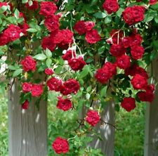 RED CASCADE Climbing Rose small flower clusters plant in 140mm pot