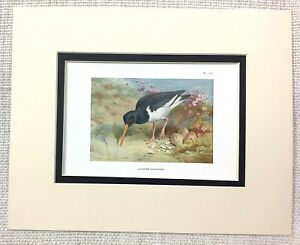 1929 Antique Bird Print Oyster Catcher British Wild Birds Archibald Thorburn