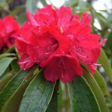 Rhododendron arboreum   Burans   Gurans   1000_Seeds