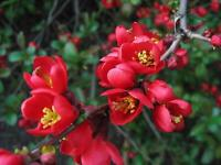"""Scarff's Red Flowering Quince - Healthy Established - 3 Pack 3.5"""" Pot"""