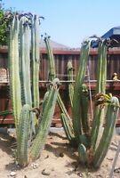 """100+ Seeds -Trichocereus peruvianus x Trichocereus bridgesii """"k"""""""