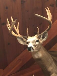 White tail shoulder mount taxidermy large