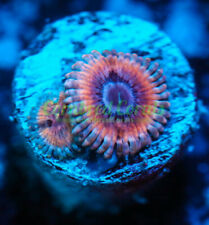 Cornbred's White Walker Paly - 1 Polyp - Frag - Live Coral