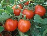 TOMATO, SWEET LARGE CHERRY TOMATO SEED, ORGANIC, NON- GMO, 25 SEEDS PER PACKAGE