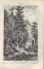 Lithografie 1909: Tanne Abies alba, A. pectinata I/II. Wald Holz Baum Natur