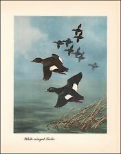 White-winged SCOTER DUCKS by Shortt, Beautiful vintage print, authentic, 1948