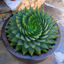 100 Aloe Vera Seeds Grow Edible Herbal Medicinal Garden Rare Bonsai Herb Plant