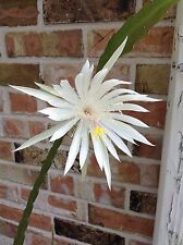 2 Night Blooming Cereus Leaf Cutting To Root Beautiful White Cactus Plant Flower