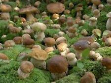 Porcini Boletus edulis MUSHROOM Mycelium 10.000 + fresh Spores $10