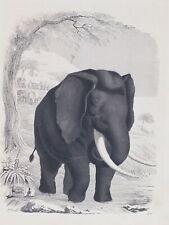 ELEFANTE 1846 INCISIONE COLORATA ORIGINALE ELEPHANT COLORATA