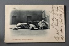 R&L Postcard: London Zoo Zoological Gardens Lion Named Sultan Early Card 1904
