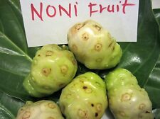 2 pots 2 seedling Noni plants Morinda Citrifolia Tropical Fruit Tree