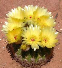 Notocactus concinnus rare parodia cactus flowering succulent cacti seed 15 seeds
