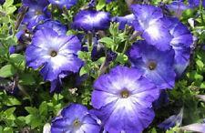 50 Pelleted Petunia Seeds Merlin Blue Morn
