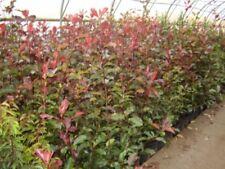 Glanzmispel Strauchpflanzen mit mittlerem Wasserbedarf